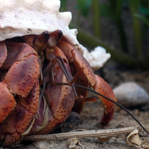 Hermit crab, public domain from Wikimedia